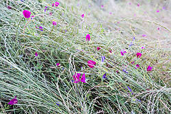 Winecups and grassess, Big Spring historical and natural area, Great Trinity Forest, Dallas, Texas, USA