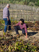 Helder Cunha explains how ancient Ramisco vines and their clusters are lifted off the sand during growing season
