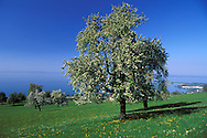 Bodensee. Lake Constance, blooming Apple Tree, St.Gallen Canton, Switzerland,