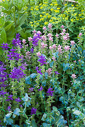 The flowers of Cerinthe major 'Purpurascens', Salvia viridis and Euphorbia oblongata being supported with netting