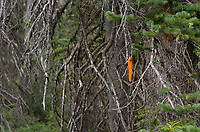 Flagging ribbon marking trail into Marriott Basin, Coast Mountains British Columbia