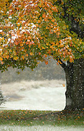 Bloomingburg, NY - Snow covers the grass and coats colorful autumn leaves during a storm on Oct. 15, 2009.