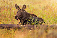 Moose calf laying in the grass