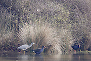 White-faced Heron and pukeko at Pauatahanui Wildlife Reserve, Wellington, New Zealand