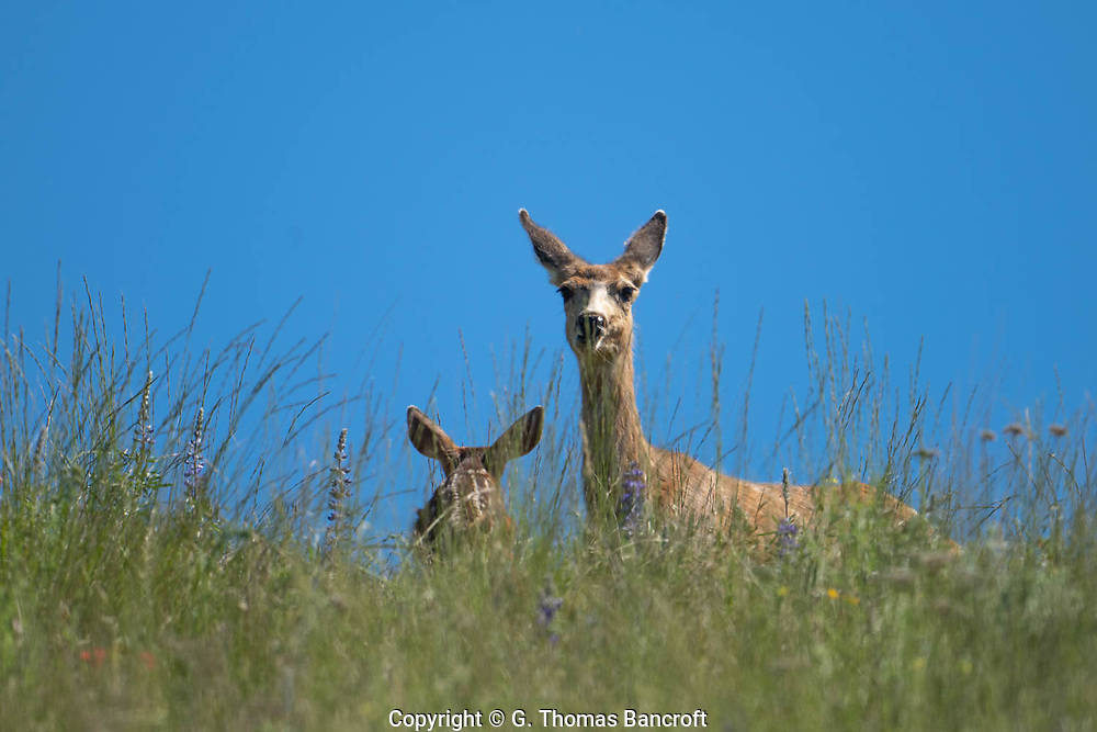 The Mule Deer relaxed her ears as her fawn approached her side but she kept her eyes fixed on me.
