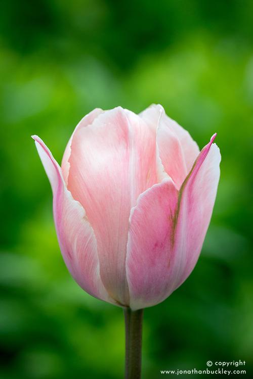 Tulipa 'Salmon Van Eyck'