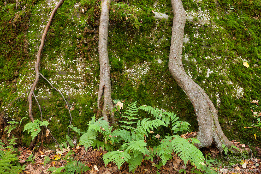 Moss, ferns, and trees grow from a large rock outcropping near the Minister Valley in Allegheny National Forest in Warren, Pennsylvania. The Allegheny Front was once part of a vast delta and layers of a hard, sandstone congolomerate were deposited. Between 250 and 320 million years ago, the Allegheny Front was lifted, forming hills and mountains. Over time, erosion exposed, split, or dislodged and moved the former sedimentary rock, resulting in large rock outcroppings.
