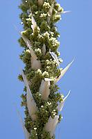 Female flower, Sotol (Dasylirion leiophyllum), Mount Franklin State Park, El Paso, Texas