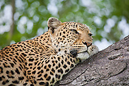 A female leopard (Panther pardus) lies in a tree in Kruger National Park, South Africa.