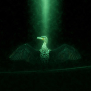 Digitally enhanced image of a White breasted Cormorant (Phalacrocorax lucidus) drying its wings Photographed in Lake Naivasha, Kenya