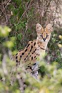 Serval cat in African habitat