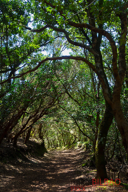 Laurel forest. Anaga Rural Park. Tenerife, Canary Islands, Atlantic Ocean, Spain.