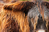 "Poitou Donkey (Baudet de Poitou) (Equus asinus asinus) portrait, heaviest donkey in world, a weigh to 450 kg. Poitou donkey is a giant donkey and an endangered domestic animal. The originating country is France. Typical is the red brown long shaggy coat, called a ""cadanette"". The area around eyes and mouth is silvery white. It's normal the hairs felting. Since Middle Ages poitou donkeys used as breeding and transport animals in agriculture. Cleeberg, Langgoens, Hesse, Germany.This picture is part of the series ""Creature's Coiffure""..Poitou-Esel (La Baudet de Poitou) (Equus asinus asinus).Portrait. Es ist der schwerste Esel der Welt und kann bis zu 450 kg wiegen. Der Poitou-Esel gehört zu den Rieseneseln und ist eine bedrohte Haustierrasse. Sein Ursprungsland ist Frankreich. Charakteristisch ist sein rot-braunes langes Zottelfell. Die Augen- und Maulpartie ist weiss silbrig. Es ist normal, dass die Haare zu dicken Zotteln verfilzen. Poitou-Esel gibt es seit dem frühen Mittelalter und wurden in der Landwirtschaft, als Zucht- und Transporttiere eingesetzt. Cleeberg, Langgoens, Hessen, Deutschland.Dieses Bild ist Teil der Serie ,,Die Frisur der Kreatur"""