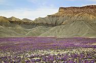 little purple flowers growing in mudcracked desert floor during spring in Utah