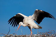 Stork, Vitoria, Alava, Spain
