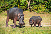 Hippopotamus (Hippopotamus amphibius), mother with baby, Murchison Falls National Park, Uganda, Africa