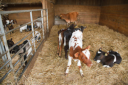 Calves on farm