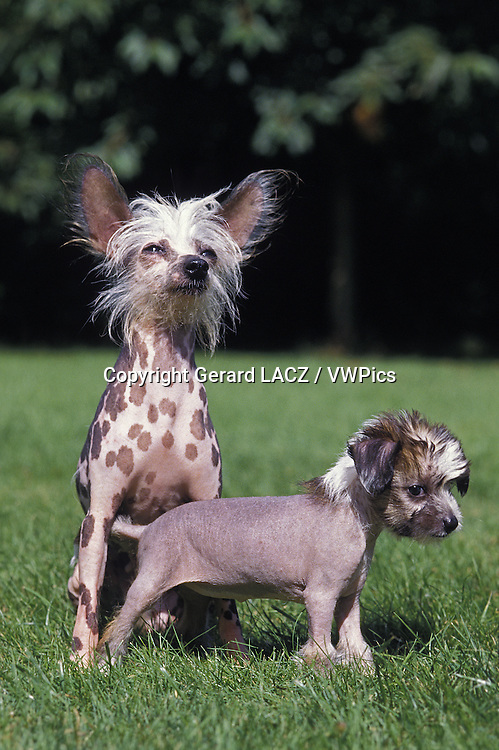 Chinese Crested Dog,  Mother and Pup