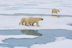 Polar Bear (Ursus maritimus), mother and two cubs in the drifting ice in Spitsbergen, Svalbard