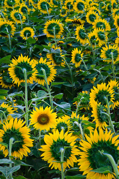One sunflower (Helianthus annuus) faces west among a field of east facing flowers, planted to attract game bird species, McKee-Beshers Wildlife Management Area, Poolesville, Maryland.