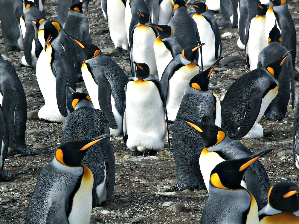 A colony of King penguins on Antarctica.