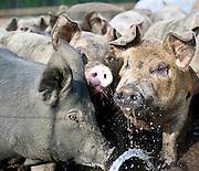 Jeremiah Jones' Beaulaville, NC pig farm - Grassroots Pork Co.