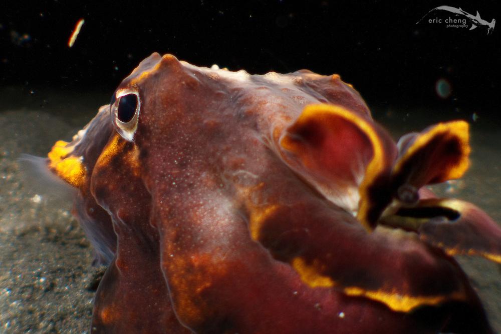 A flamboyant cuttlefish (Metasepia pfefferi). Lembeh Strait, Indonesia. echeng100303_0252360
