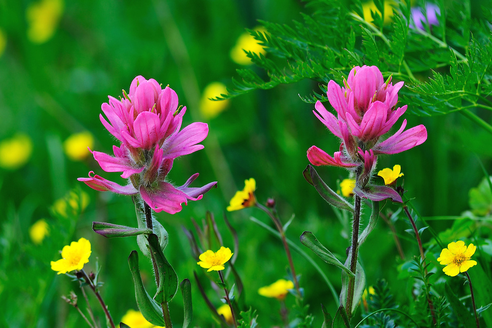 Another shade of Rosy Paintbrush.