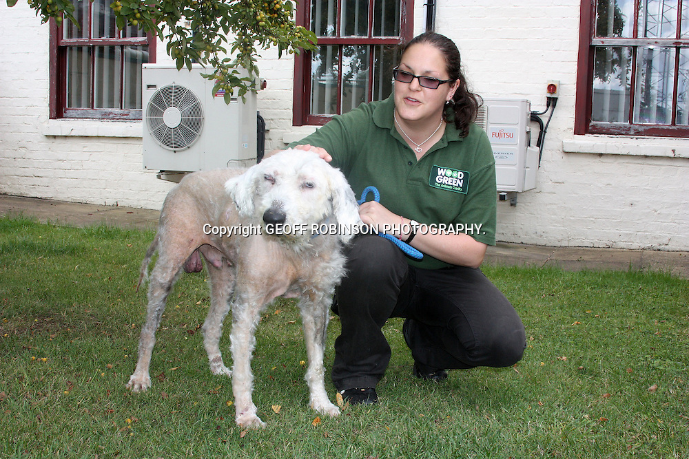 PIC BY GEOFF ROBINSON PHOTOGRAPHY 07976 880732...COLLECT PIC SHOWS FLOYD AFTER HIS  CLEAN UP.. Vets had to remove a staggering 13kg of HAIR from an Old English Sheepdog which was tied up by a piece of string and abandoned in one of the worst animal neglect cases ever seen...Floyd, as he has now been named, was thrown out of a dark coloured car and tied up outside Wood Green, an animal shelter in Godmanchester, Cambs...His hair was so long and matted he struggled to see, hear or go to the toilet and his claws were so long he could barely walk...Floyd, who is about 10-years-old, was found by a member of the security team who took him inside to comfort him at about 1.30am on Saturday (Aug 27)...He needed urgent medical attention and received round the clock care from vets and nurses who removed 13kg of hair, clipped his two-inch claws and removed cysts and grass seeds from his paws and ears in a two-hour operation...SEE COPY CATCHLINE Dog is worst animal neglect case