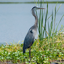 Great Blue Heron (Ardea herodias), Blue Cypress Lake, Vero Beach, Florida, US