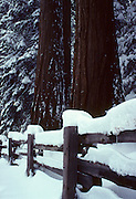 Sequoia Tree, Winter, Snow, Sequoia and Kings Canyon National Parks, California