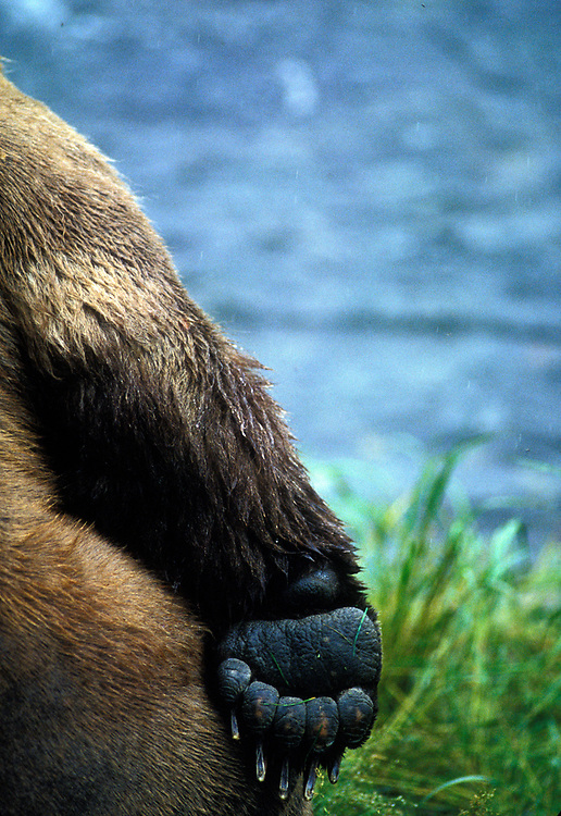 USA, Alaska, Katmai National Park, Detail of Grizzly Bear (Ursus arctos) paw along Brooks River