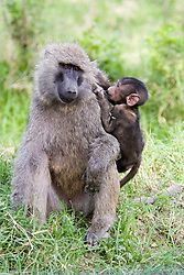 Female baboon with young at Lake Nakuro National Park. The five baboon species are some of the largest non-hominid members of the primate order/ Femea de babuino com filhote no Parque Nacional Lago Nakuro, no Quenia.