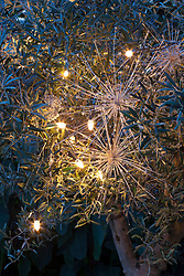 Olive tree decorated with fairy lights and sprayed silver allium seedheads. Olea europaeus