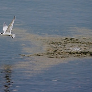 Tern fishing off Dangriga, Stann Creek District, Belize