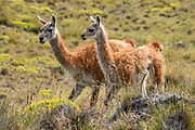 Guanacos seen along Lagunas Altas Trail, in Chacabuco Valley, near Cochrane, Chile, South America. The guanaco (Lama guanicoe) is a camelid native to South America, closely related to the llama. Its name comes from the Quechua word huanaco (modern spelling wanaku). Patagonia National Park consists of the Tompkins Conservation donation in addition to the former national reserves of Jeinimeni and Tamango, plus fiscal land. Parque Patagonia was created by Conservacion Patagonica, a nonprofit incorporated in California and founded in 2000 by Kris Tompkins. On January 29, 2018, Chilean President Michelle Bachelet and Kris Tompkins signed a decree creating 5 national parks, including Patagonia National Park.
