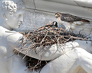NE2/28/08 1RedTail<br /> ML0435A<br /> A pair of red-tailed hawks visit the nest they are building on the lap of one of the Classical figures on the frieze of the Superior Courthouse in New Haven. Photo by Mara Lavitt