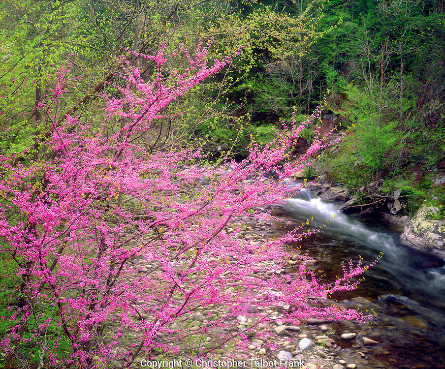 I hiked through the thick forest to get this photo Redbud Wildflowers along a stream in the Great Smoky Mountain National Park.  The bright pink flowing tree stand out from the lush green forest.