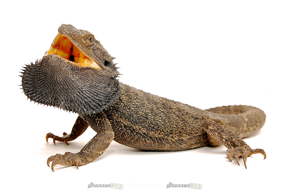 Eastern Bearded Dragon (Pogona barbata), native to Australia.