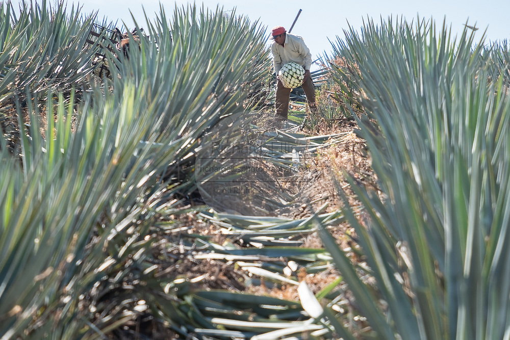 A jimador collects blue agave plants during harvest in a field owned by the Siete Leguas tequila distillery in the Jalisco Highlands of Mexico. Siete Leguas is a family owned distillery crafting the finest tequila using the traditional process unchanged since for 65-years.