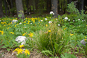 Idaho, Stanley, Sawtooth Mountains. Rocky mountain helianthella a type of balsamroot (helianthella uniflora) and mountain heliotrope (sitka valerian, mountain valerian, dirty socks, valeriana sitchensis) growing in a shady sub alpine evergreen setting. PLEASE CONTACT US FOR DIGITAL DOWNLOAD AND PRICING.
