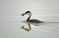 Western Grebe is about to feed on a small fish it caught by swimming underwater in an inland pond.