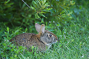Marsh rabbit (Sylvilagus palustris)<br /> Little St Simon's Island, Barrier Islands, Georgia<br /> USA<br /> HABITAT &amp; RANGE: Marshes &amp; swamps of coastal regions. Eastern &amp; Southern USA
