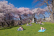 People relax in spring on the grass of Pilgrim Hill with Yoshino Cherry Trees in Central Park, New York City.