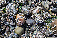 A closeup of the barnacle covered rocks and things in the intertidal zone off North Beach on Orcas Island, Washington, USA.