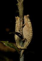 Mated pair of brown leaf Chameleons (Brookesia superciliaris) Eastern rainforest, Madagascar