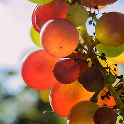 Vitaceae, Wijnstokfamilie