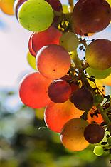 Wijnstok of Druif, Vitis vinifera