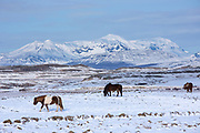 Herd of Icelandic ponies grazing in glacial landscape of South Iceland