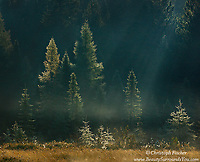 A moment of sublime beauty in Canada's Algonquin Provincial Park, as the early morning sunlight filters through the tree tops to illuminate the lifting fog and dew covered pine trees in radiant light